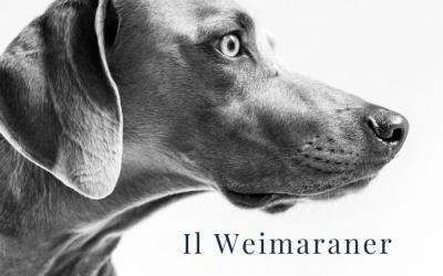 Il Weimaraner